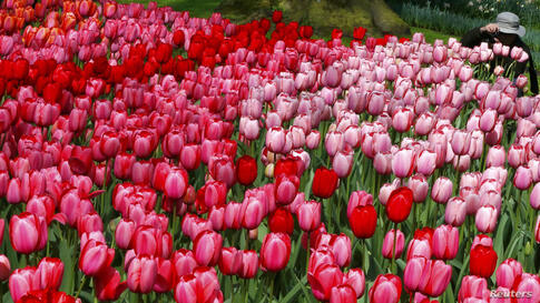 A tourist takes pictures of tulips at the Keukenhof park, also known as the Garden of Europe, in Lisse, the Netherlands.
