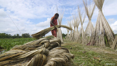 A woman carries a bundle of jute for drying in a paddy field in Nagaon district in the northeastern state of Assam, India.