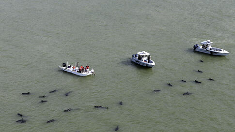 Officials in boats monitor the scene where dozens of pilot whales are stranded in shallow water in a remote area of Florida's Everglades National Park, USA, Dec. 4, 2013.