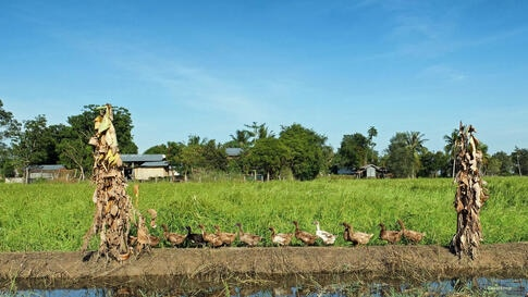 A line of ducks walk home along the banks of a flooded paddy field in northeast Thailand. (Photo taken by Matthew Richards/Thailand/VOA reader)