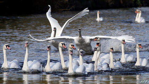 Swans swim on a side canal of the river Alster after they were released from their wintering grounds in Hamburg, northern Germany.