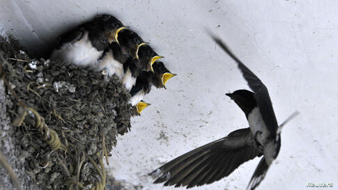 A swallow feeds her babies in their nest under the ceiling of a residential house in Dongfeng township of Guiyang, Guizhou province, India, May 5, 2014.