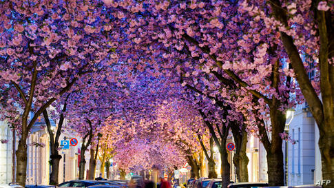 Flowering cherry trees stand in a street in Bonn, western Germany, April 3, 2014.