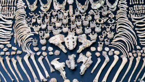 Five thousand-year-old human bones are on display during the preparations for the exhibition ' 3,300 BC - Mysterious Stone Age dead persons and their world' in the State Museum of Prehistory in Halle, central Germany.