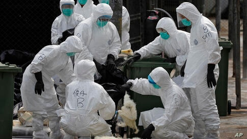 Health workers in full protective gear bag chickens, suffocated by using carbon dioxide at a wholesale poultry market in Hong Kong. Authorities began culling 20,000 birds at a wholesale market after poultry from southern mainland China tested positive ...