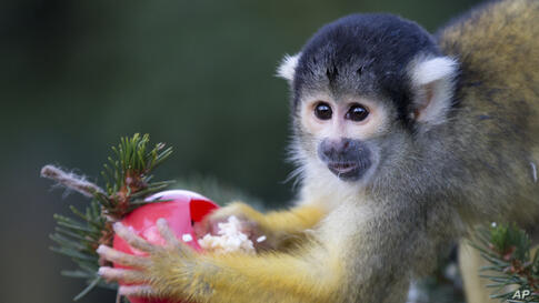 Bolivian squirrel monkeys gets a special treat from their keepers of sultanas and wax worms that were set out on a Christmas tree at London Zoo in London, Dec.18, 2013.