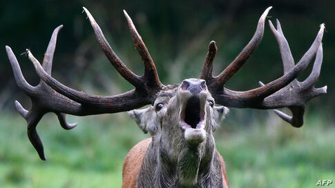 A stag roars in its enclosure at Wildpark Eekholt in Grossenaspe, Germany, as the mating season for deer has begun.