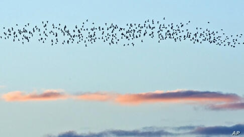 Cranes fly during sunset near Straussfurt, central Germany.
