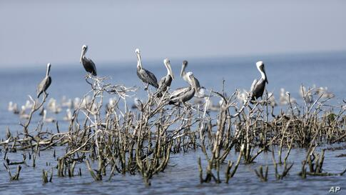Brown pelicans sit on dead mangrove on Cat Island, a former nesting ground which has mostly eroded into the bay, in Barataria Bay in Plaquemines Parish, Louisiana, USA, Sept. 27, 2013.