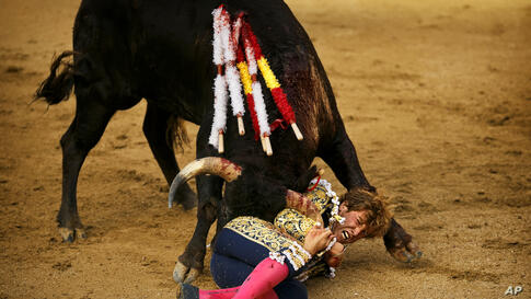 Spanish bullfighter Roman grabs the horn of a Guadaira ranch fighting bull after being tossed during a bullfight of the San Isidro fair in Madrid, Spain, May 26, 2014.