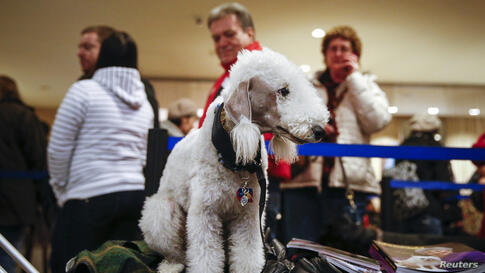 Rion, a Bedlington Terrier, waits to check in with his owners at the Hotel Pennsylvania in New York. Dogs are arriving for the annual Westminster Kennel Club Dog Show that starts on Monday.