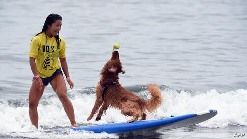Bell (R) catches a ball next to owner Nao Omura as they ride on a wave during the animal surfing portion of the Mabo Royal Kj Cup surfing contest at Tsujido beach in Fujisawa, Kanagawa prefecture, Japan, July 6, 2014.