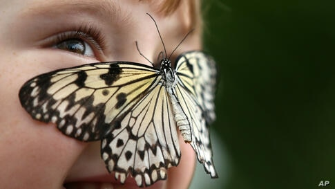 Catherine Barclay looks at photographers as a tropical butterfly rests on her nose during a media call for a butterfly exhibition outside the Natural History Museum in London, England.