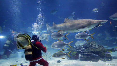 A diver dressed as Santa Claus feeds the sharks in Budapest's Tropicarium, Hungary.