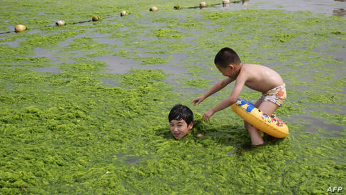 Children playing with algae on a beach in Qingdao, east China's Shandong province as another round of algae growth hit the waters off the city.