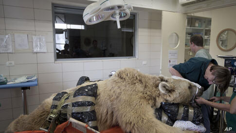 Mango, a 19-year-old male Syrian brown bear, rests on a bed as zoo veterinarians and staff prepare him for surgery  to repair a herniated disc in his back after it was discovered in an x-ray, in the Ramat Gan Zoological Center's animal hospital near Te...