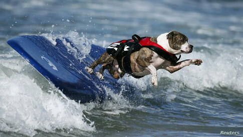 A dog wipes out while competing in the Surf City surf dog competition in Huntington Beach, California, Sept. 29, 2013.