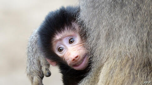 A young Hamadryas baboon is carried by its mother in Berlin's zoo, Germany.
