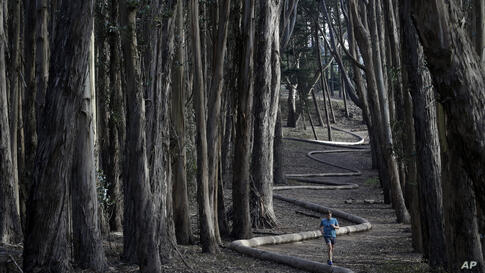 Tim Green, of Sidney, Australia, jogs alongside the sculpture Wood Line by artist Andy Goldsworthy in an eucalyptus grove in The Presidio in San Francisco, California, USA, Jan. 7, 2014.