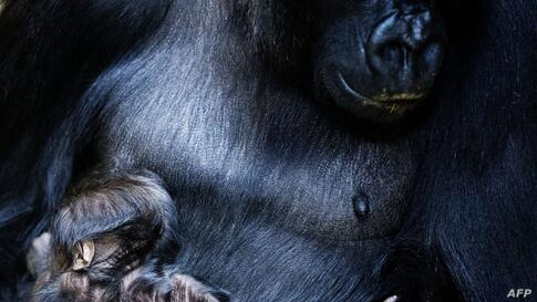 New-born gorilla N'Aikais is held in the arms of its mother in Burgers Zoo in Arnhem, The Netherlands.