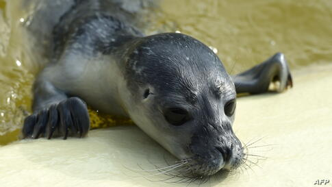 A stranded seal pup explores a pool at the seal station in Friedrichskook, northern Germany. The pup was found May 28 on the German island Sylt and was named Anja after the lady who found her. She currently weighs 7,6 kg and will be released into the w...