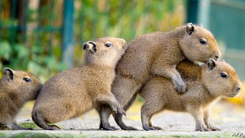 Young capybaras are seen in thier enclosure at the Hannover zoo, Germany.
