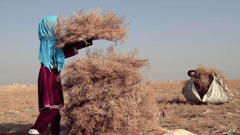 Afghan girls collect thorn to use for cooking and heating in Bagram north of Kabul, Afghanistan.
