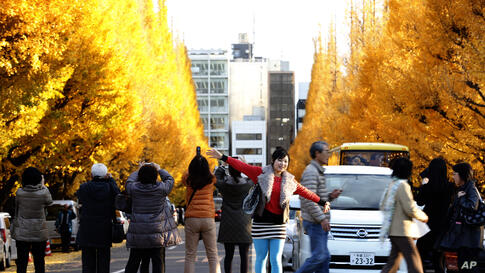 A woman poses as others take a picture of the tinted autumn foliage of ginkgo trees at a Tokyo park, Japan.