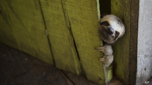 A sloth peeks out from behind a door on a floating house in the 'Lago do Janauari' near Manaus, Brazil, May 20, 2014.