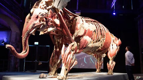 A visitor looks at the plastinate 'Elephant cow Samba' in the exhibition 'Body Worlds'. in Luebeck, Germany, Monday, June 22,…