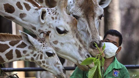 A keeper wearing protective face mask feeds giraffes at Ragunan Zoo prior to its reopening this weekend after weeks of closure…