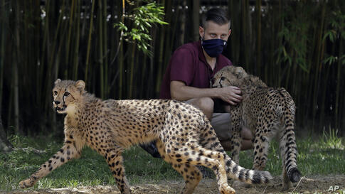 An animal trainer at Busch Gardents Tampa Bay, wearing a protective face-mask, works with a pair of Cheetah cubs, Wednesday,…