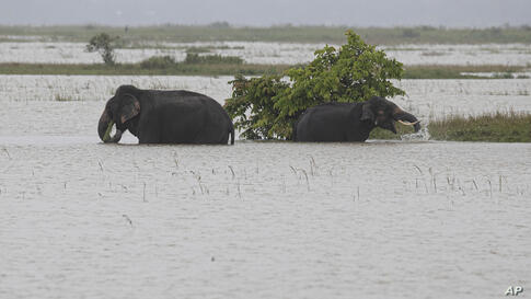 Elephants walk through floodwaters in Morigaon district of Assam, India, Friday, June 26, 2020. Following incessant rainfall,…