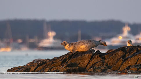 A seal lounges on rocks in Casco Bay, Thursday, July 30, 2020, off Portland, Maine. Seals are thriving off the northeast coast…
