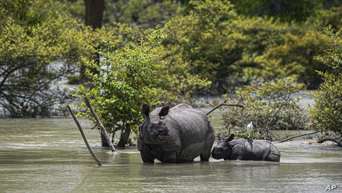A one horned rhinoceros and a calf wades through flood water at the Pobitora wildlife sanctuary in Pobitora, Morigaon district,…