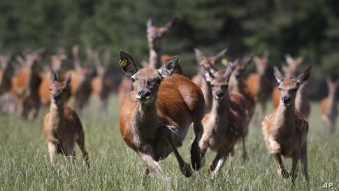 Noble deer run in a nursery forest near the village of Bolochanka, 70 km (44 miles) south-east of capital Minsk, Belarus,…