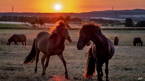 Iceland horses stand on a meadow of a stud farm in Obernhain near Frankfurt, Germany, as the sun rises Thursday, July 23, 2020…