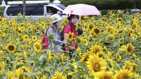 Women wearing face masks to help protect against the spread of the new coronavirus walk through a field of sunflowers at a park…