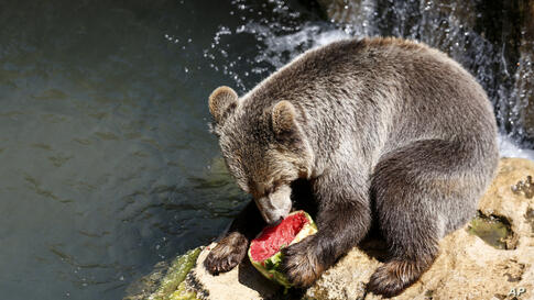 A brown bear eats a blocks of iced fruit in his pool enclosure at Rome's Bioparco zoo, Thursday, Aug. 13, 2020. Zoo staff…