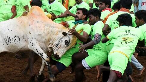 "Villagers try to tame a bull during a traditional bull-taming festival called ""Jallikattu,"" in the village of Palamedu, near…"