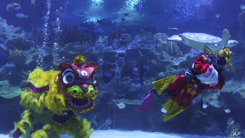 Divers perform an underwater lion dance at the KLCC Aquaria during Chinese Lunar New Year celebrations in Kuala Lumpur, Friday,…