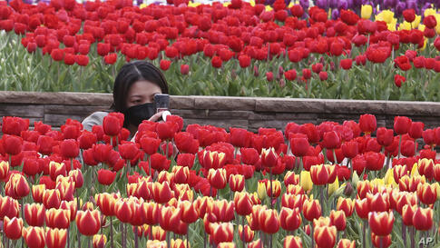 A woman wearing a face mask as a precaution against the coronavirus takes pictures of tulips at a park in Goyang, South Korea,…