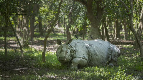 A one-horned Rhinoceros rests inside the Pobitora wildlife sanctuary on the outskirts of Gauhati, India, Friday, April 23, 2021…