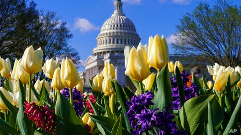 Flowers bloom on Capitol Hill in Washington, Friday, April 2, 2021, as Congress is away for the two-week holiday recess. (AP…