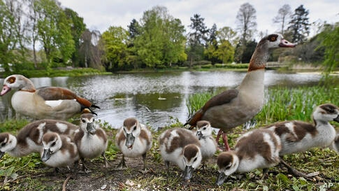 Small Egyptian goslings explore a park in Gelsenkirchen, on a windy spring Tuesday, May 4, 2021. (AP Photo/Martin Meissner)