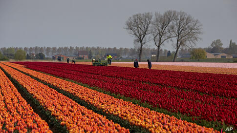 Farmers work in a tulip field in Meerdonk, Belgium on Monday, May 3, 2021. Most tulips in the region are grown specifically for…