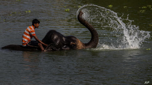 An Indian mahout bathes an elephant in a pond on the outskirts of Gauhati, India, Friday, May 28, 2021. (AP Photo/Anupam Nath)