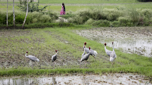 Sarus cranes stand in a rice field in Lucknow, India, Wednesday, June 30, 2021. (AP Photo/Rajesh Kumar Singh)