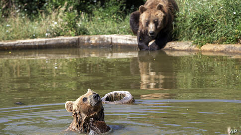 Brown bears Hana, front and Mali cool down in a pool of water at Bear Sanctuary Pristina, home to 20 bears rescued from…