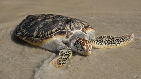 Released by Thailand's Prime Minister Prayuth Chan-ocha, a green turtle returns to the sea as a part of activities during his…